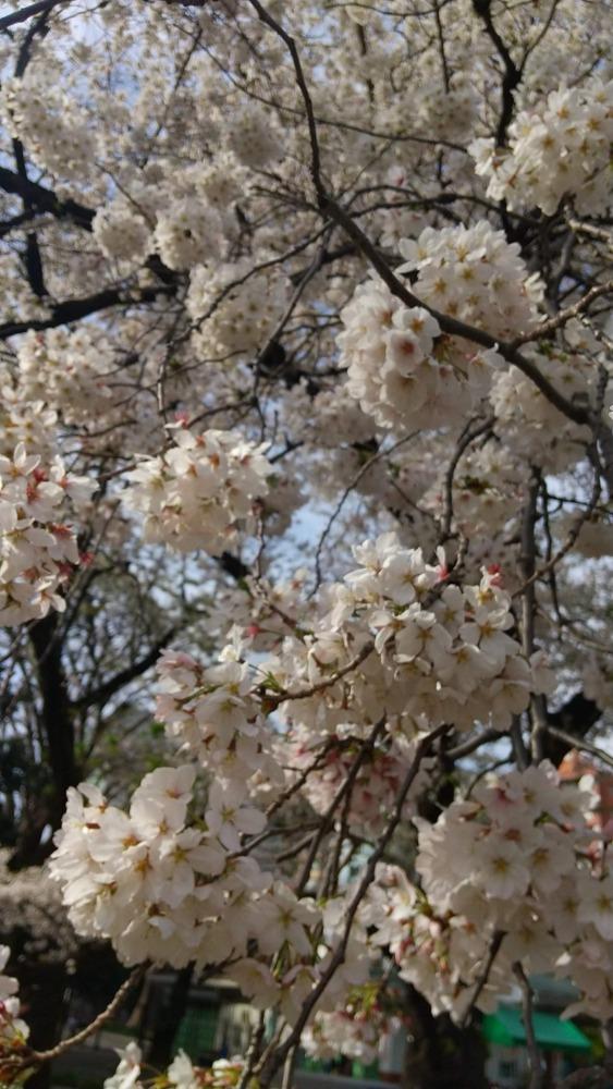 【生産者】無農薬で作った桜の塩漬け、どこかで販売していますか?