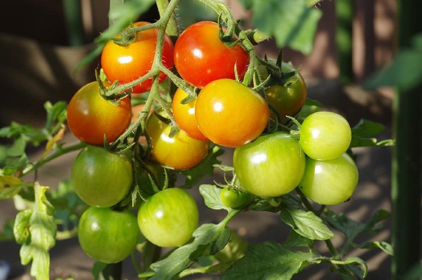 食育のために【収穫直前のミニトマト】を販売して欲しい!
